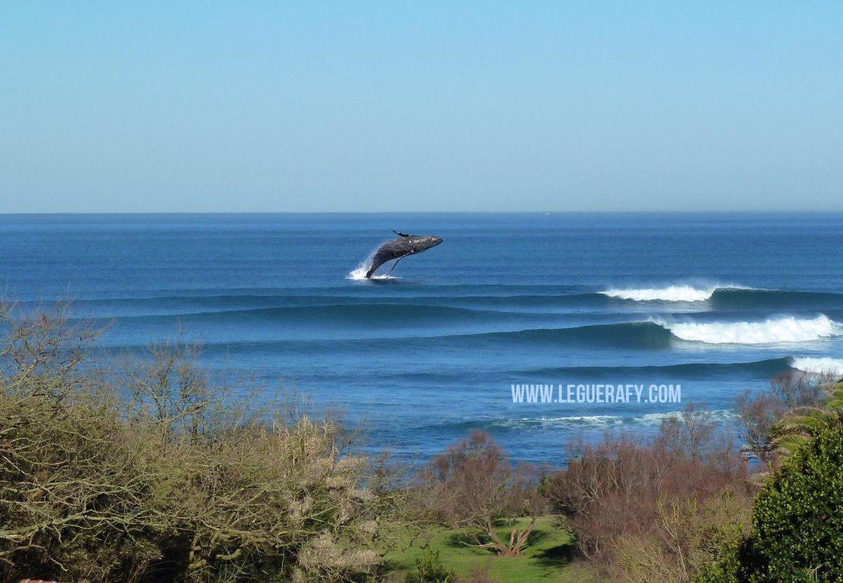 les baleines sont de retour à Guethary